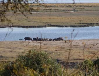 Groep-nijlpaarden-Chobe-National-Park