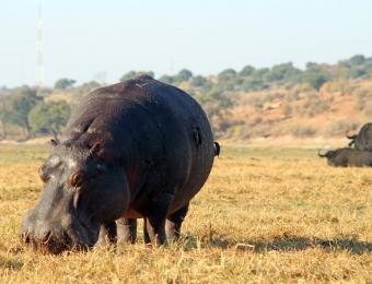 Hippo-in-Chobe-National-Park