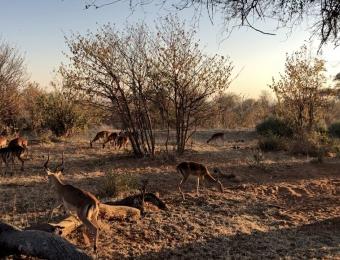 Impalas-in-Chobe-National-Park