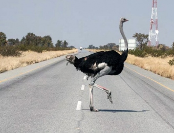 Pas-op-voor-struisvogels