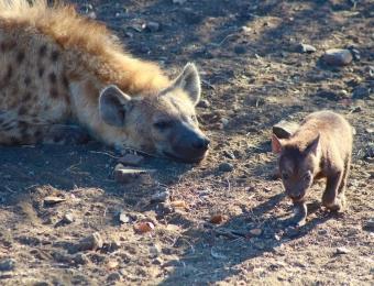 Hyena met welpje