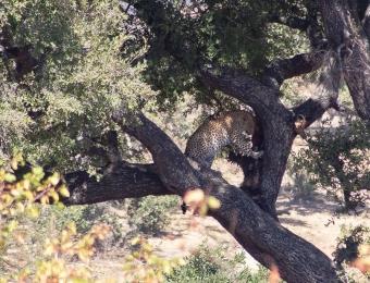 Lupaard in de boom