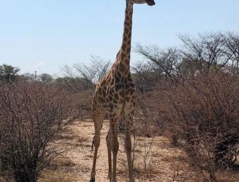 Giraffe in Khama Rhino Sanctuary