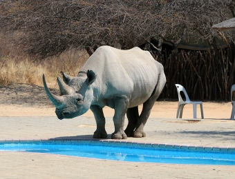 Neushoorn drinkt uit zwembad bij Khama Rhino Sanctuary