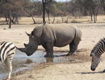 Neushoorn in Khama Rhino Sanctuary