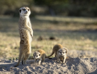 Meerkats op de Ntwetwe pans