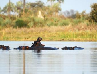 Nijlpaarden met hun bek wijd open