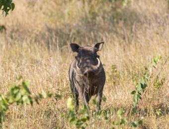 Wrattenzwijn in de okavango delta