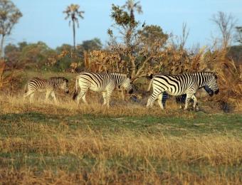 Zebra's in de okavango delta