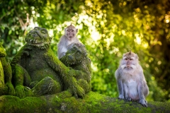 Nieuwsgierige apen in the Monkey Forest