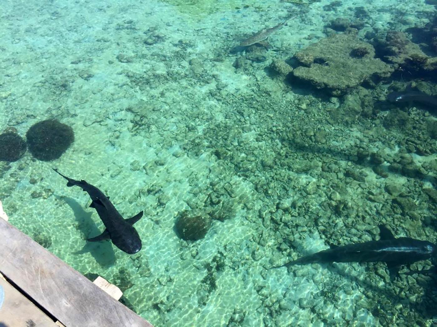 Rifhaaien bij de steiger van Breve Azurine Lagoon Resort