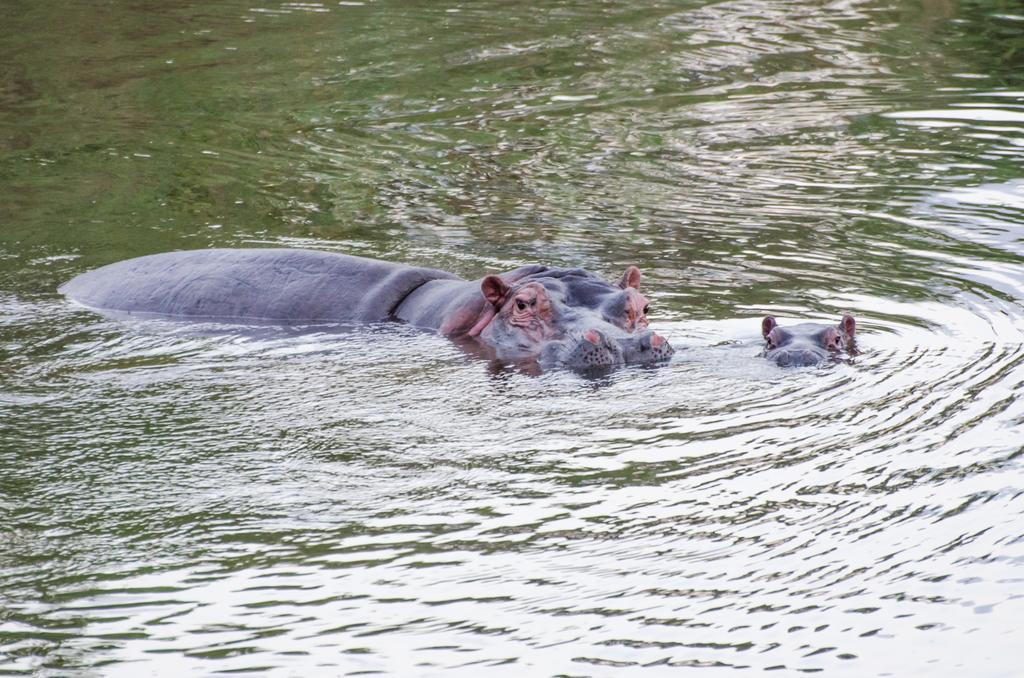 Nijlpaarden bij Hippo Water Front Lodge