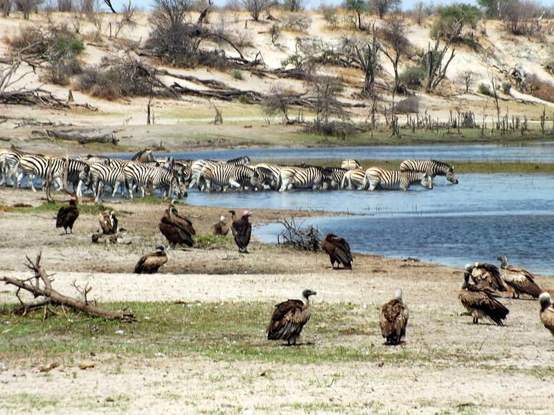 Boteti river met dieren