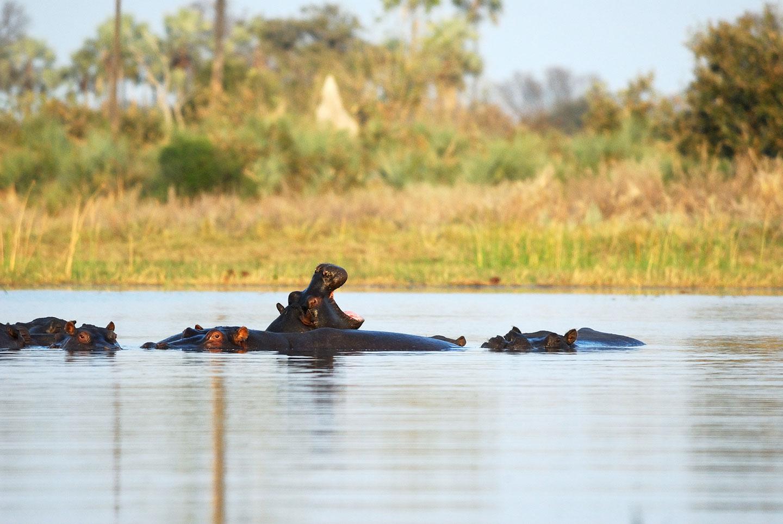 Nijlpaarden-okavango-delta