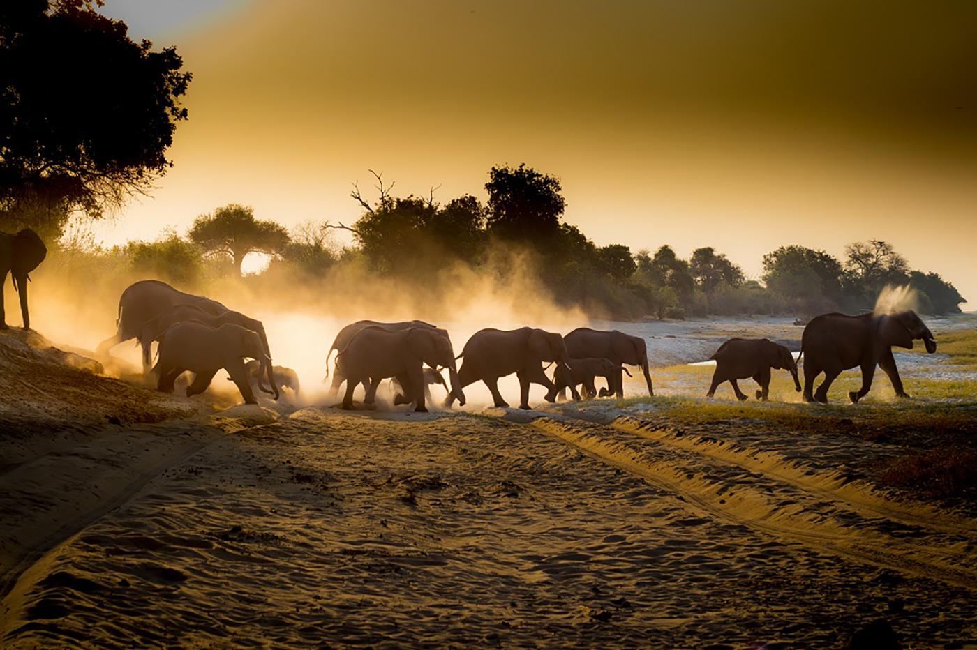 Elephants in Chobe National Park Sunrise