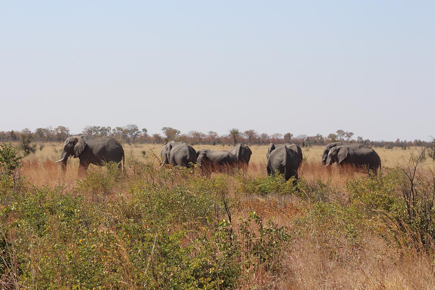 Elephants on the road to Kasane